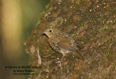 WildLife Photos of Birds, Thrushes & Redstarts, European Robin, Erithacus rubecula